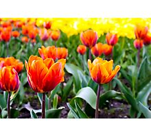 red tulips on the flowerbed in the park Photographic Print
