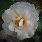 White rose by HeidiArts