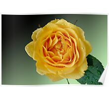 Yellow Rose on Green Gradient Poster