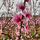 Peach Blossoms by James Brotherton