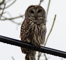 Barred Owl On A Wire Sticker
