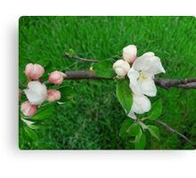 Apple flowers Canvas Print