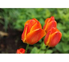 Orange Tulip Photographic Print