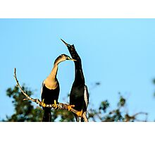 Pair of Courting Anhingas Photographic Print