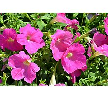 Pink flowers natural background. Photographic Print