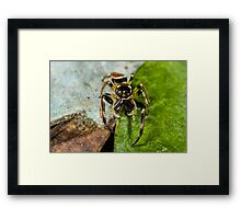 Two spot big jaw northern jumping spider-male Framed Print