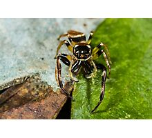 Two spot big jaw northern jumping spider-male Photographic Print