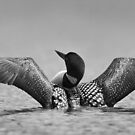 Common loon in black and white by Jim Cumming