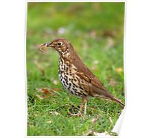 Song Thrush with earthworms Poster