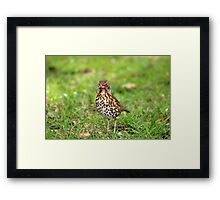 Song Thrush with earthworm II Framed Print