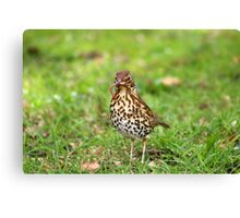 Song Thrush with earthworm II Canvas Print