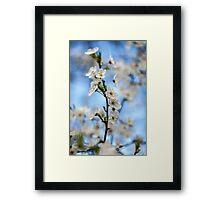Cherry flowers Framed Print