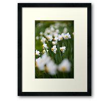 White daffodils Framed Print