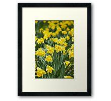 Daffodils field Framed Print