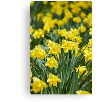 Daffodils field Canvas Print