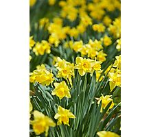 Daffodils field Photographic Print
