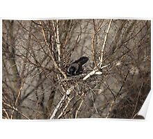 Crow sitting in a nest Poster