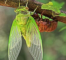 Cicada Emerging from it's Shell by searchlight