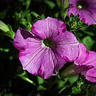 Magenta flower Leith Park Victoria 20151222 6499   by Fred Mitchell