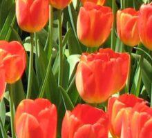 Scarlet Tulips - Keukenhof Gardens Sticker
