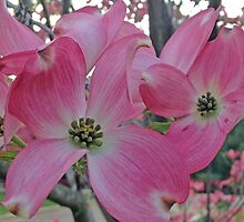 Dogwood in Spring by Patty Boyte