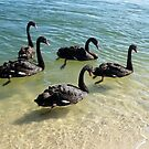 Black Swans by Margaret Stevens