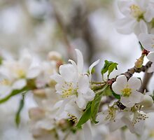 Crabapple Peace and Serenity by Ken Fleming