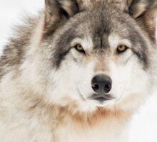 Timber Wolf in Snow Sticker