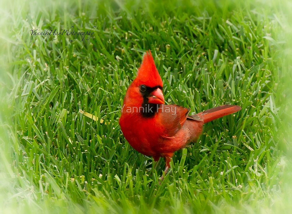 Northern Cardinal by Yannik Hay