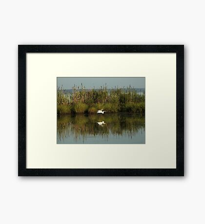 Flying egret Framed Print