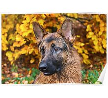 German shephard in autumn colors Poster