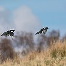 Magpies Flight by M.S. Photography/Art