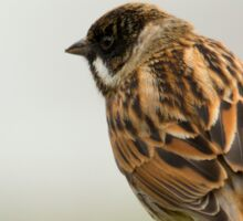 Reed Bunting  Sticker