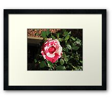 Bi-color Beauty - Pretty Pink and White Miniature Rose Framed Print