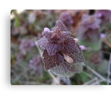 Purple Dead Nettle (Lamium purpureum) Canvas Print