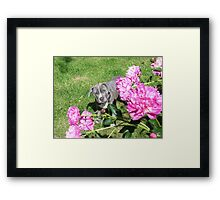 Gorgeous Baby Pit Bull Puppy Dog in Peony Flowers Framed Print