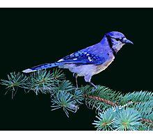 Beautiful Blue Jay Art Print Photographic Print