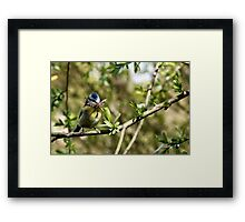 Blue Tit with nesting material 4. Framed Print