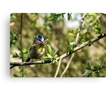 Blue Tit with nesting material 4. Canvas Print