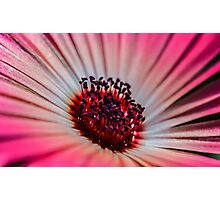 Daisy Stone in White & Pink - Living Community Photographic Print