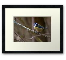 Blue Tit in a tree 3. Framed Print