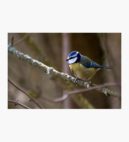 Blue Tit in a tree 3. Photographic Print