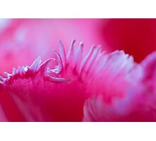 Tulip petal macro. Photographic Print
