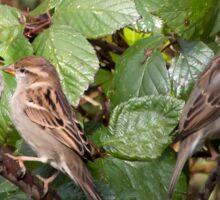 Three Sparrows. Sticker