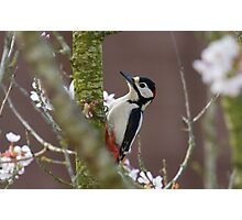Greater Spotted Woodpecker - Dendrocopos major Photographic Print