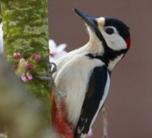 Greater Spotted Woodpecker - Dendrocopos major Sticker