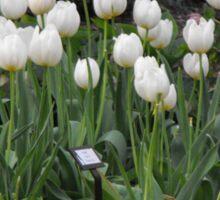 Mizzou College Tulips Sticker
