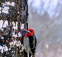 Red Breasted Sapsucker by Don Siebel