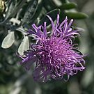Pale purple thistle like flower Leith Park Victoria 20151222 6505   by Fred Mitchell