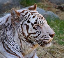White Tiger - Cincinnati Zoo by virtualdiablo